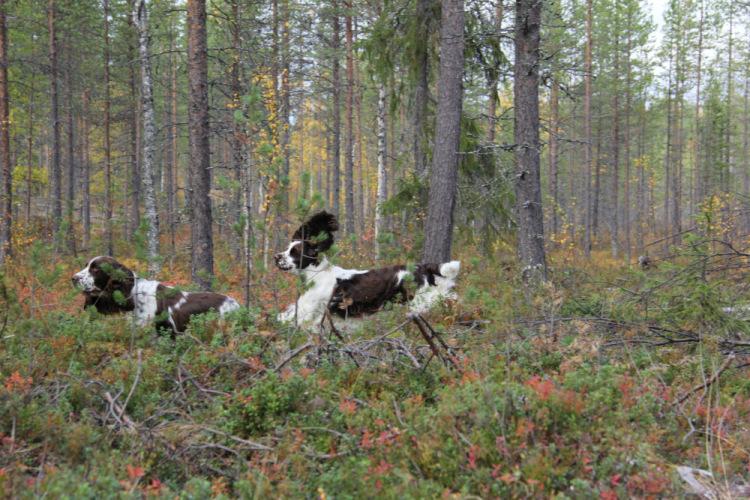 Спрингеры Foxberryhill's -Saima, Kaj, Gerda, Lotta, Connie, Violetta - Страница 11 194947-fb650-71811108-m750x740-u28842