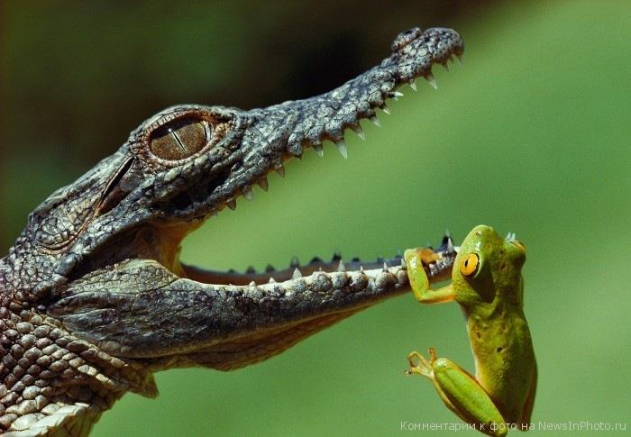 С какво се храни крокодила