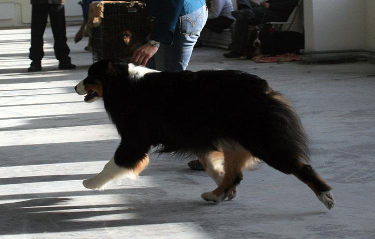 Выставочные успехи наших собак - 4 - Страница 5 325030-6872b-65298513-m750x740-udf08b